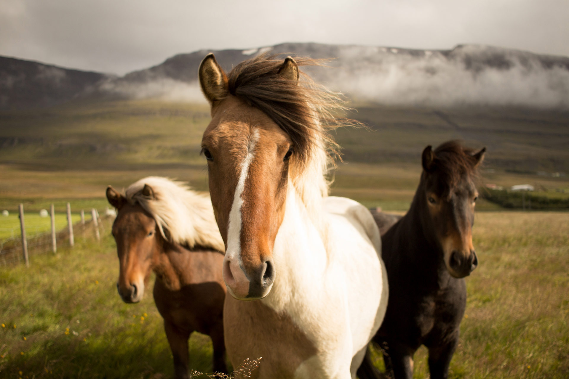 Iceland horses on the way to Hrifunes Nature Park hotel in south iceland